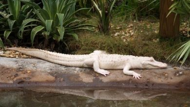 Photo of Do White Alligators Really Exist on Earth?