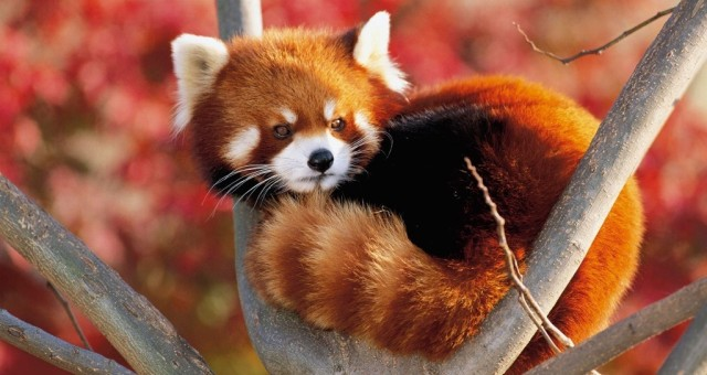 Photo of Is the Red Panda a Cat, Bear or Raccoon?