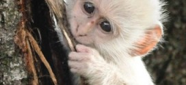 The Only White Monkey in the Whole World
