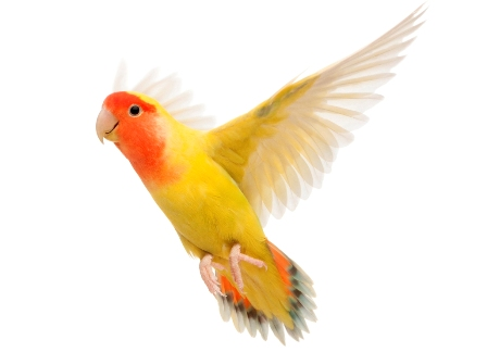"Photo of "" Canary"" The Bird of Kings, Rich People & Miners"