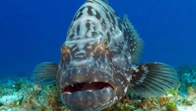 Photo of Is The Atlantic Goliath Grouper Endangered?
