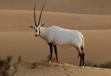 Photo of The Arabian Oryx Returns Back to Life