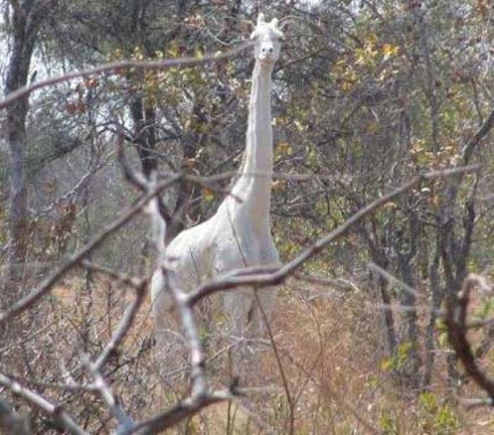 Craig-McDonald-Albino-Giraffe Rare White Giraffes Spotted in Different Areas