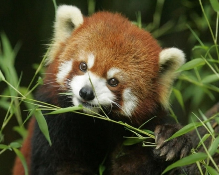 Cute-Little-Red-Pandas-22 Is the Red Panda a Cat, Bear or Raccoon?