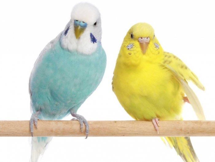 """Depositphotos_2612723_l-copy11 """" Canary"""" The Bird of Kings, Rich People & Miners"""