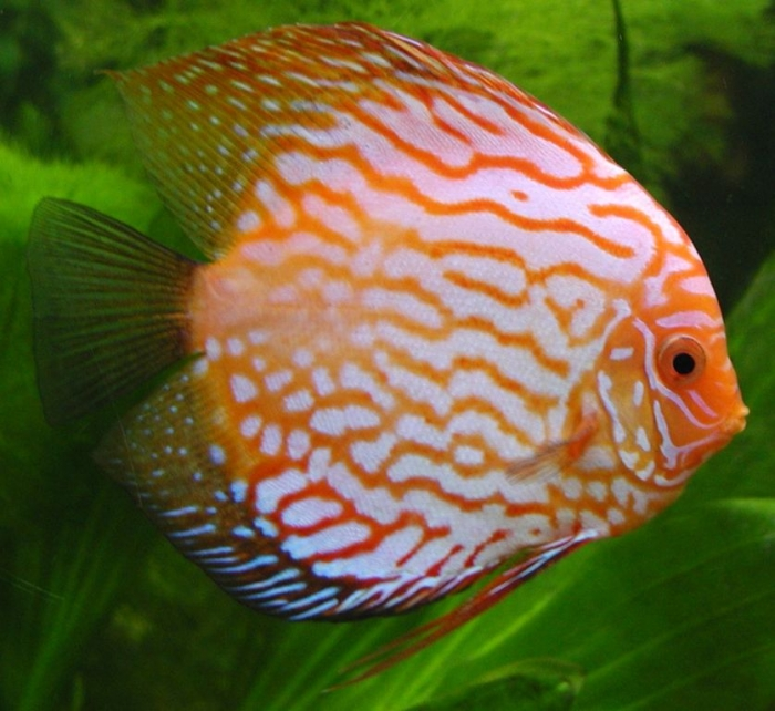 Discus_fish What Are the Kinds of Fish You Can Put in Your Fish Tank?