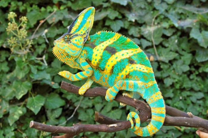 Driskel12 How Can the Chameleon Change Its Color?