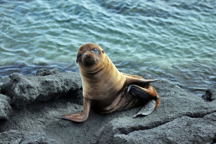 """Ecuador-Galapagos-Sea-Lion-L Is It """"Sea Lions Or Sea Bears"""" You Have to Decide"""