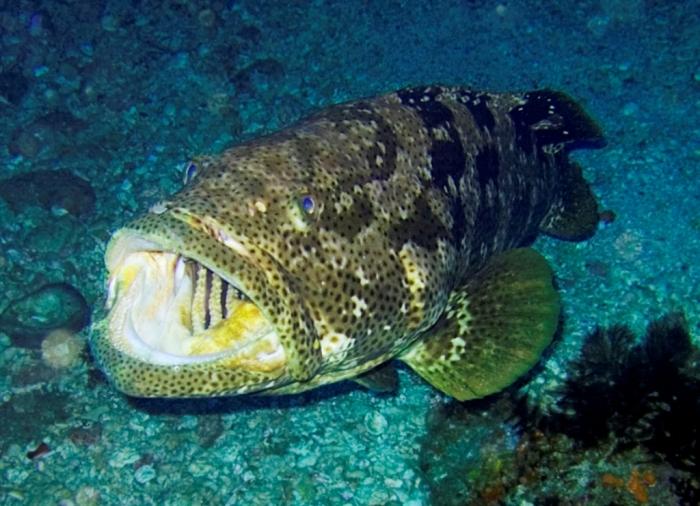 Epinephelus_malabaricus Is The Atlantic Goliath Grouper Endangered?