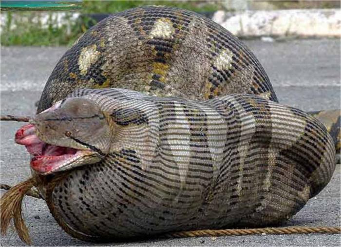 Esta-serpiente-capturada-en-Malasia-se-ha-tragado-una-oveja-embarazada-seis-metros-y-90-kilos-apenas-puede-moverse Unbelievable Facts You Don't Know about Anaconda