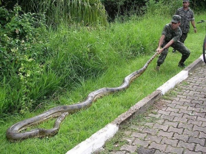 Eunectes-murinus Unbelievable Facts You Don't Know about Anaconda