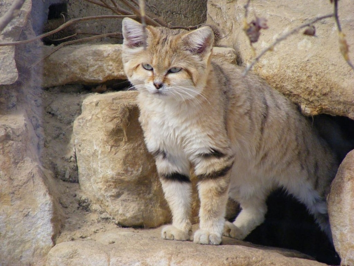 FULLSIZE-sand_cat_i3 Why Is the Sand Cat the Strongest Cat on Earth?