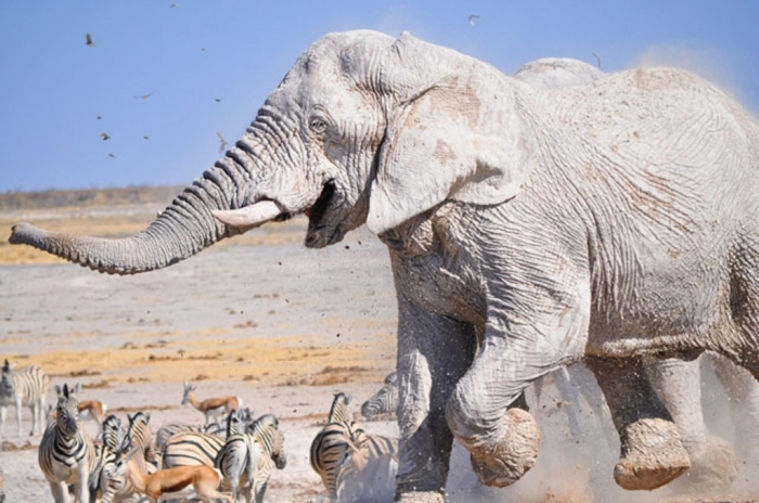 FUNMUD The White Elephant Is Not a Legend