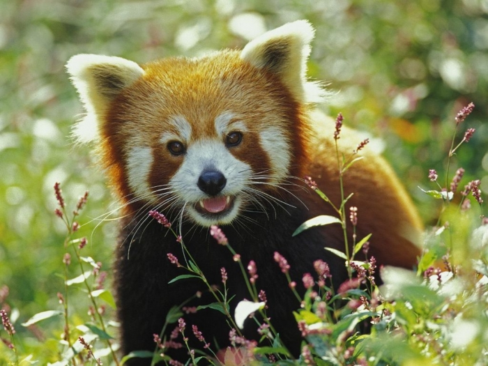 Firefox-Red-Panda11 Is the Red Panda a Cat, Bear or Raccoon?