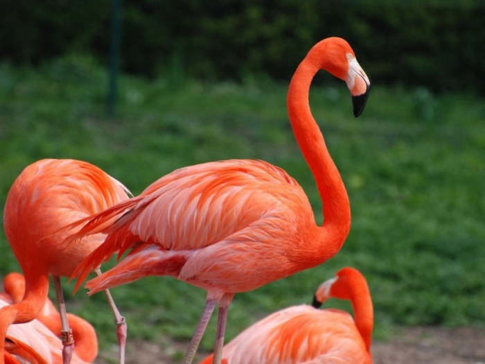 "Flamingo-Bird Strange Facts about the Most Beautiful Bird on Earth ""Flamingo"""