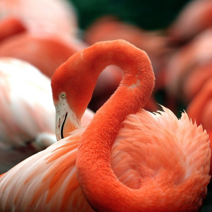 "Flamingo Strange Facts about the Most Beautiful Bird on Earth ""Flamingo"""