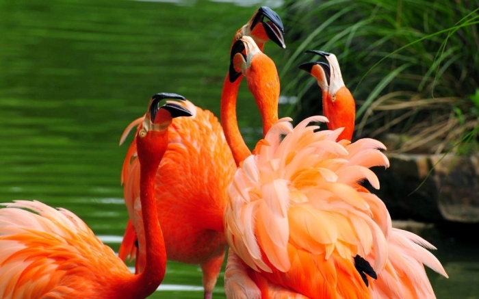 "Flamingo_HD_Wallpaper Strange Facts about the Most Beautiful Bird on Earth ""Flamingo"""