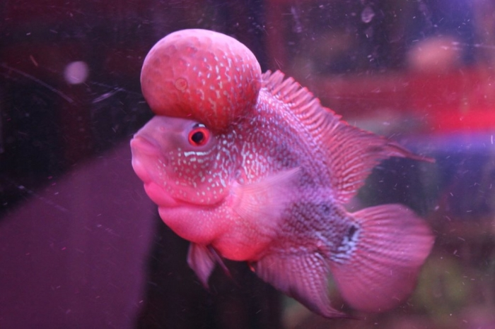 Flowerhorn-Monster-Kok_wz4997 What Are the Kinds of Fish You Can Put in Your Fish Tank?