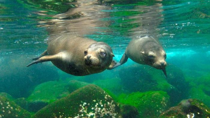 "Galapagos-Sea-Lion-Pair-Hood-Island-Galapagos-Islands-Ecuador Is It ""Sea Lions Or Sea Bears"" You Have to Decide"