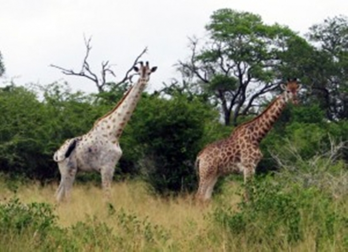 Giraffes-2-300x218 Rare White Giraffes Spotted in Different Areas