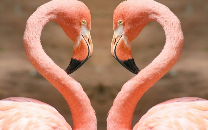 "Heart-by-flamingos Strange Facts about the Most Beautiful Bird on Earth ""Flamingo"""
