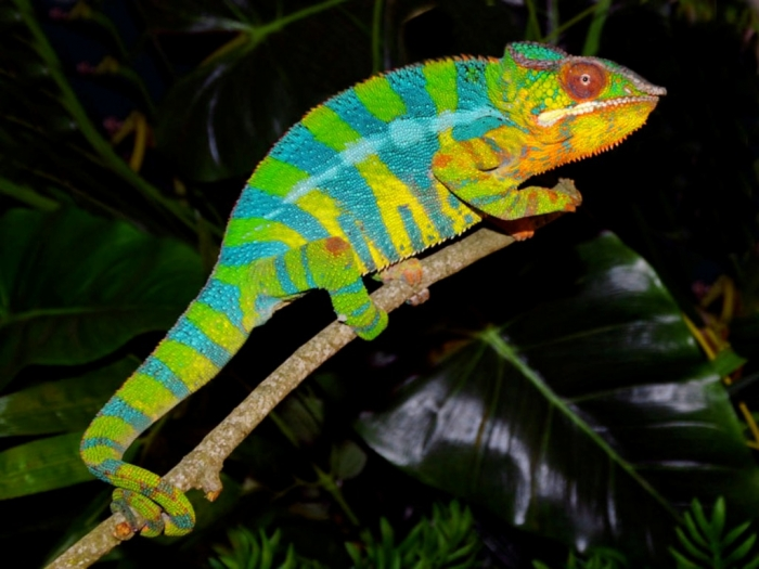 how can the chameleon change its color pouted