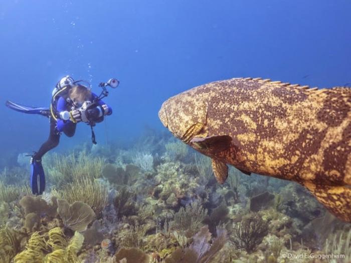 IMG_0077 Is The Atlantic Goliath Grouper Endangered?