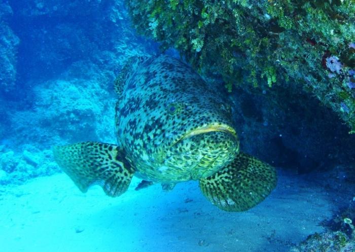 Itajara Is The Atlantic Goliath Grouper Endangered?