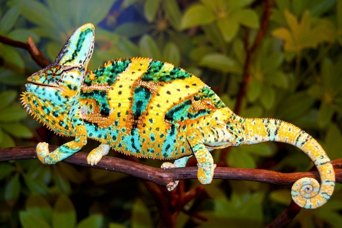 Jethro2 How Can the Chameleon Change Its Color?