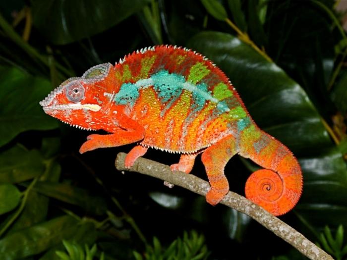 Kestahn1 How Can the Chameleon Change Its Color?