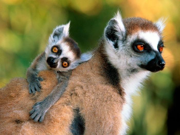 Lemurs-monkeys-14750770-1600-1200 Are Lemurs Ghosts, Monkeys Or Just Strange Creatures?