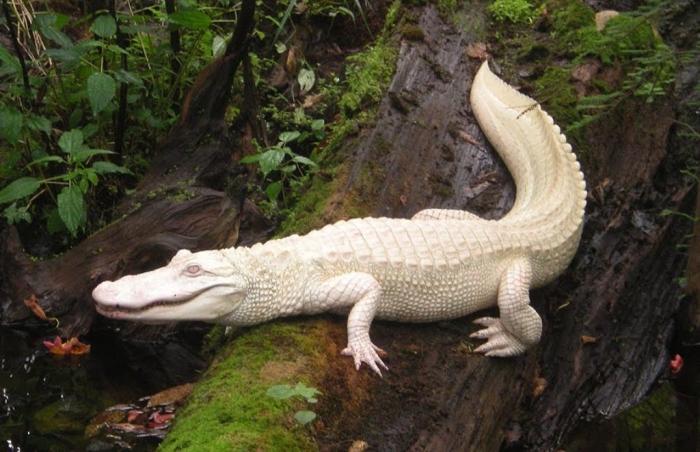 Luna_on_Log_aligator Do White Alligators Really Exist on Earth?