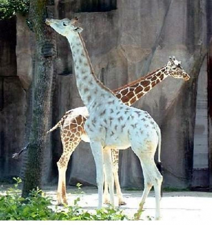 NLjRw6Q Rare White Giraffes Spotted in Different Areas