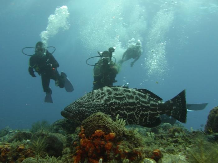 P6060028 Is The Atlantic Goliath Grouper Endangered?