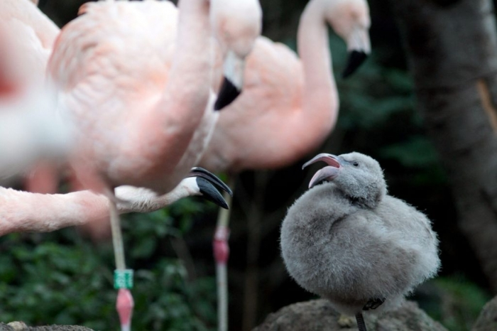 """PAY-Flamingo-chick Strange Facts about the Most Beautiful Bird on Earth """"Flamingo"""""""