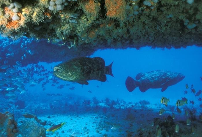 PHOTO29 Is The Atlantic Goliath Grouper Endangered?