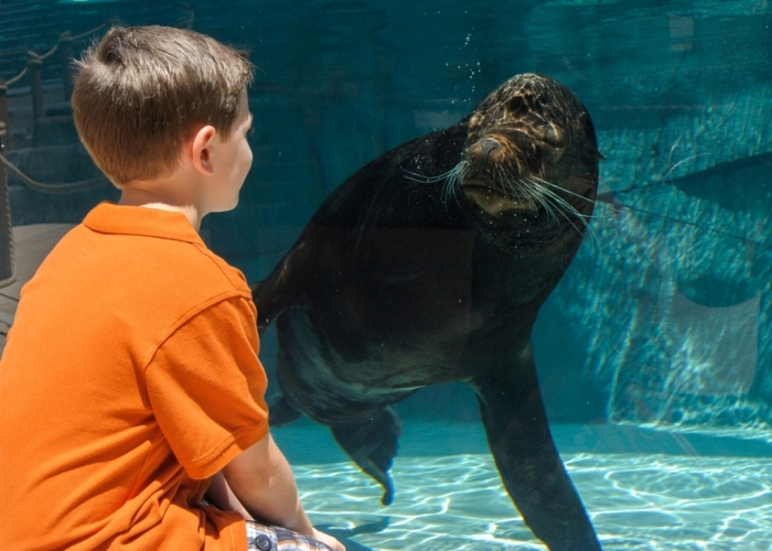 """PR_Boy_views_California_sea_lion_at_Sea_Lion_Sound_Ray_Meibaum_Saint_Louis_Zoo Is It """"Sea Lions Or Sea Bears"""" You Have to Decide"""
