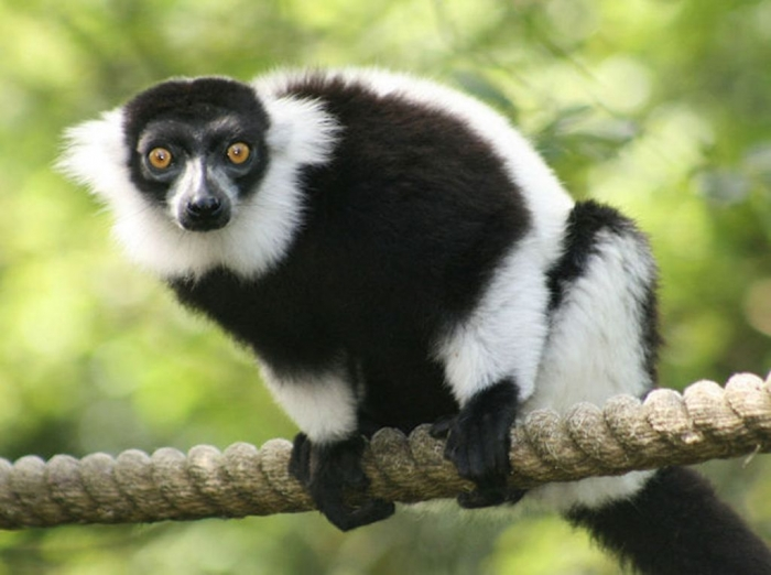 Rare-Lemur-Group-Found-2 Are Lemurs Ghosts, Monkeys Or Just Strange Creatures?