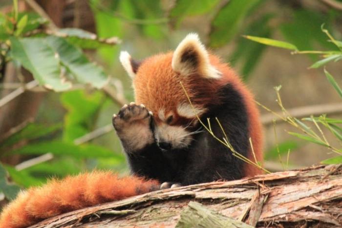 Red-Panda-42 Is the Red Panda a Cat, Bear or Raccoon?