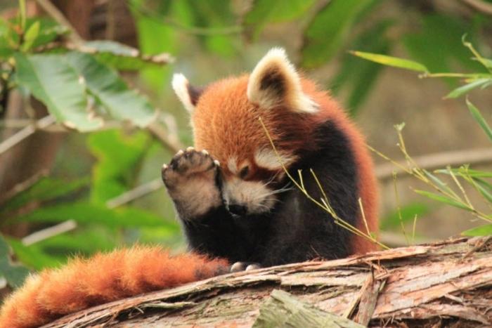 Red-Panda-42 Is the Red Panda a Cat, Bear or Raccoon?