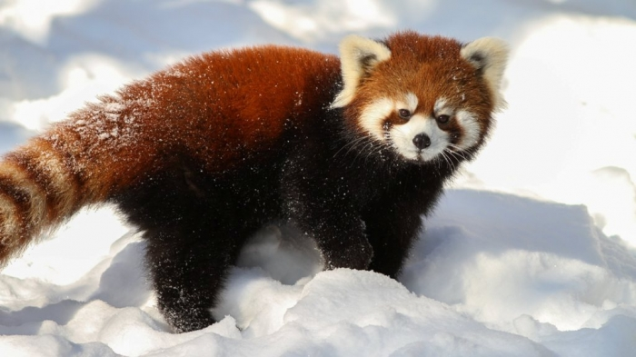 Red-panda-Ultra-HD5 Is the Red Panda a Cat, Bear or Raccoon?