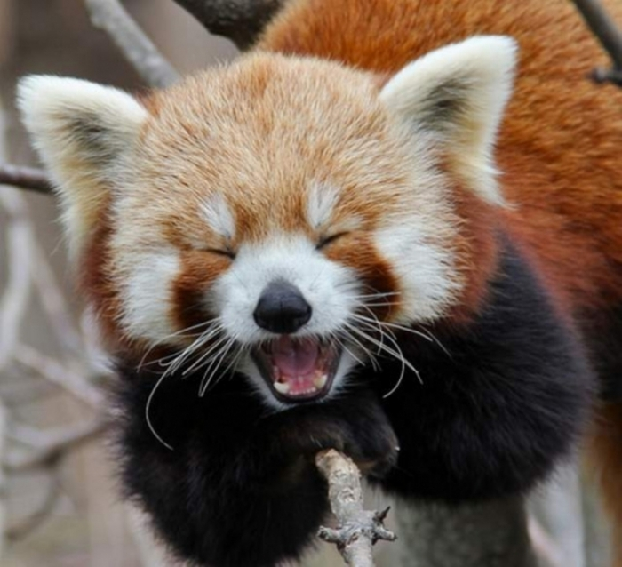 Red-panda4 Is the Red Panda a Cat, Bear or Raccoon?