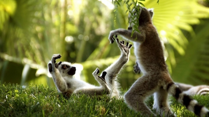 Ring-Tailed-Lemurs Are Lemurs Ghosts, Monkeys Or Just Strange Creatures?