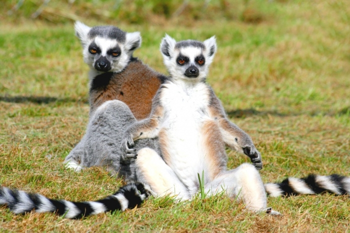 Ringtailed_lemurs Are Lemurs Ghosts, Monkeys Or Just Strange Creatures?