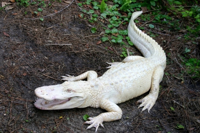 SCAquarium-Albino-gator Do White Alligators Really Exist on Earth?