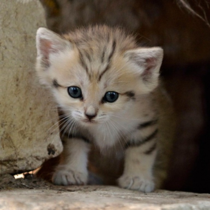 Sand-Cat-Kitten Why Is the Sand Cat the Strongest Cat on Earth?