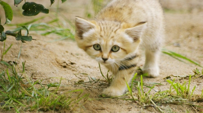 Sand-Cat-Wallpaper1 Why Is the Sand Cat the Strongest Cat on Earth?