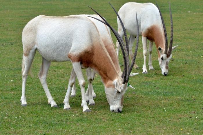 Scimitar_oryx1 The Arabian Oryx Returns Back to Life