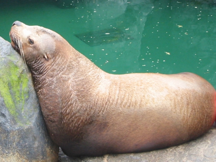 """Steller_sea_lion_bull2 Is It """"Sea Lions Or Sea Bears"""" You Have to Decide"""
