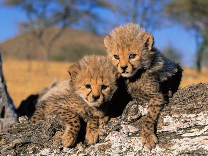 Tigers-cheetah-cubs-Picture Is Cheetah Going to Be Extinct & Disappear from Our Life?